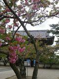 04) 一本だけの八重桜が咲いた