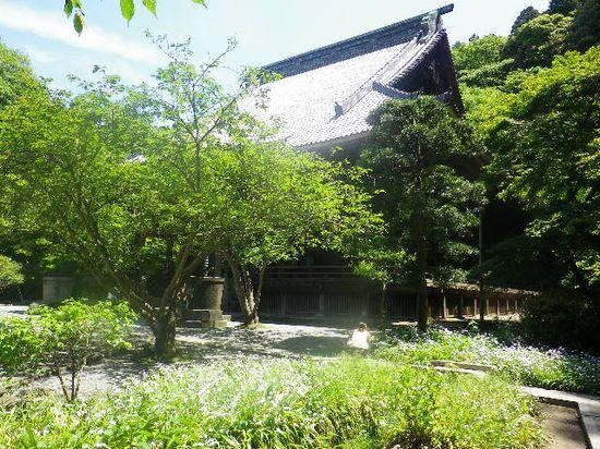 06) 立ち入り不可だが、写真右方向の高所は比企一族の墓所。墓所から見おろす境内に咲くシャガの花。