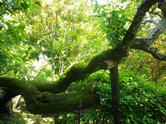 14) 幹に苔生す、梅の老木。