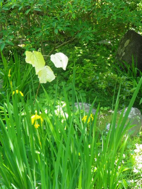 17) 黄色いスイセンか? ん? んん? この時期まで咲いているのか? ショウブの一種だろうナ。