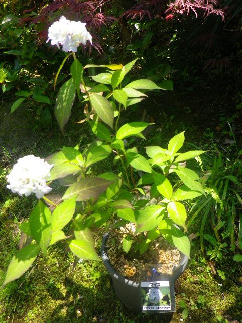 20) 紫陽花「マイコ」