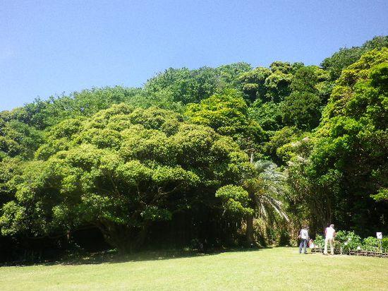 4-01)-0 ' スダジイ ' の老大木と、' カナリー椰子 '。
