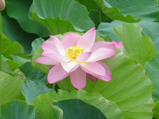 14) 短期間で開花しきって、このあと直ぐに散る。桜花にも通じる ' ものの あはれ(あわれ)' とか ' 潔さ ' をも感じさせる。