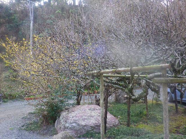 02) 山門の外、梅の枯木 と 黄色いソシンロウバイの花。