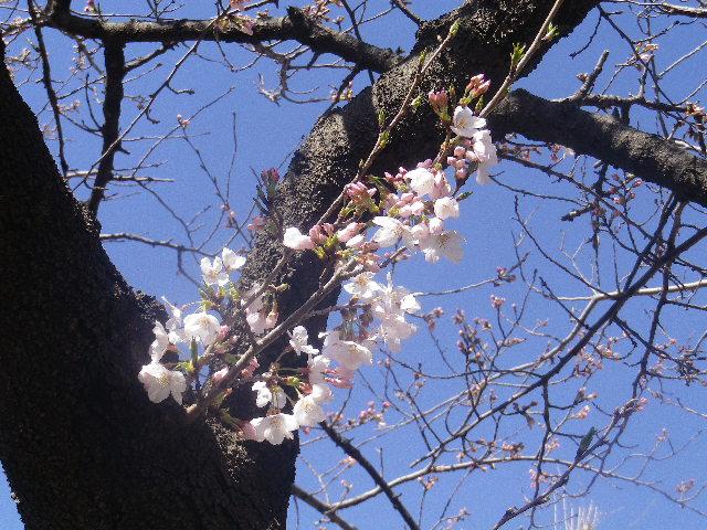 04) 「鶴岡八幡宮」参道 ' 段葛 ' の桜
