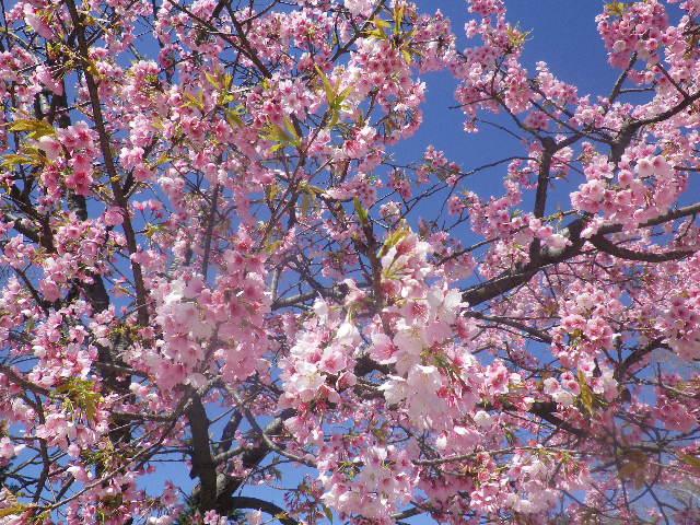 06) 「鶴岡八幡宮」境内 ' 源平池 ' 平家池側 の桜