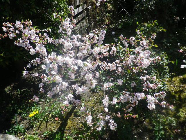 10) 桜