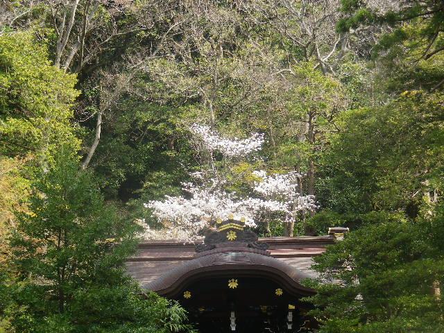 08) 直近真正面からを憚って、摂社「白旗神社」屋根と桜だけを撮った。
