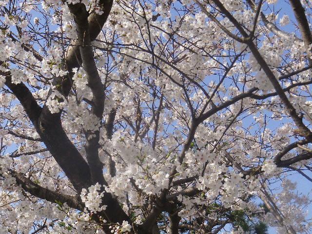 02) 鎌倉郵便局周辺 街路樹の桜