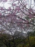 02) 光明寺の山門を背景に、「千手院」の枝垂れ桜。