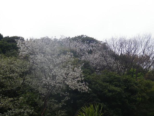 01) 自宅近所の山桜