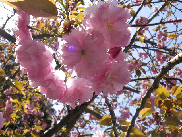 10) 八重桜