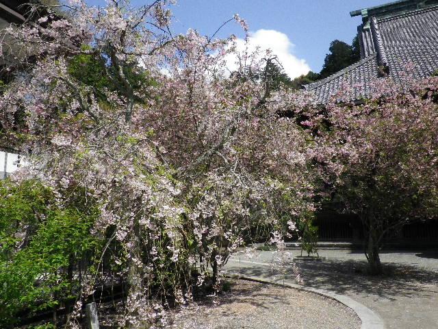11) 左半分:枝垂れ桜を撮ったつもり。_ 右半分:種類不明だが、辛うじて咲き残っている桜。