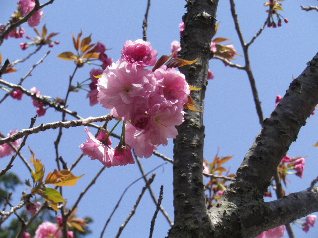 15) 八重桜