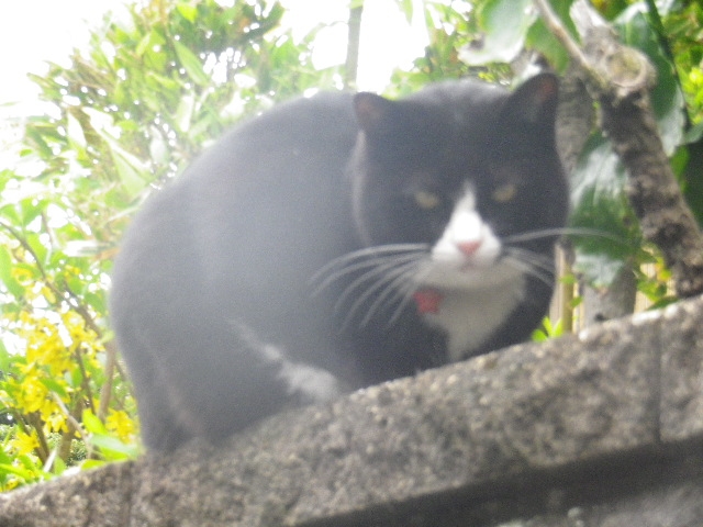 05) 近所の飼い猫、本名 ' あおやぎ パン ' くん。 本名判明以前につけた芸名 ' 相模三久オリジナル '。