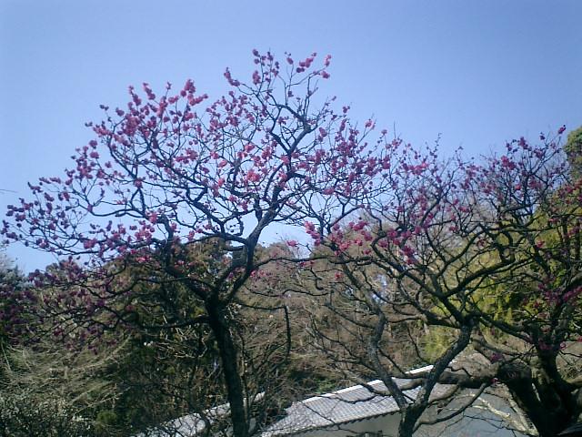 10)東慶寺、紅梅