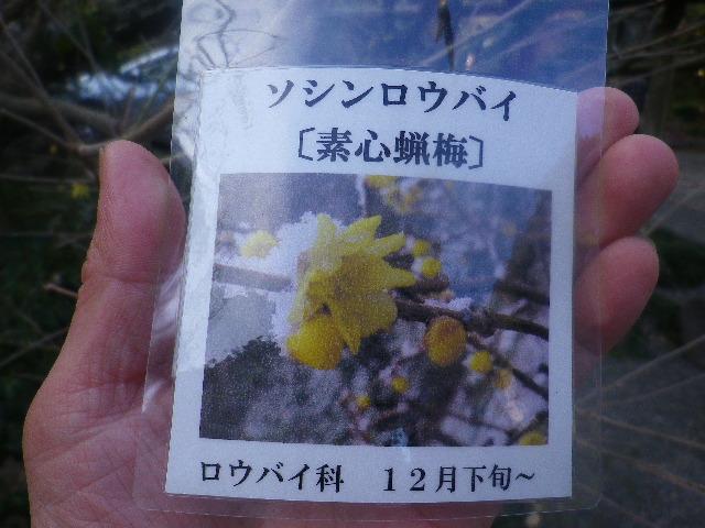 01) ソシンロウバイ(素心蝋梅)