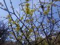 03) 黄色いソシンロウバイの花。