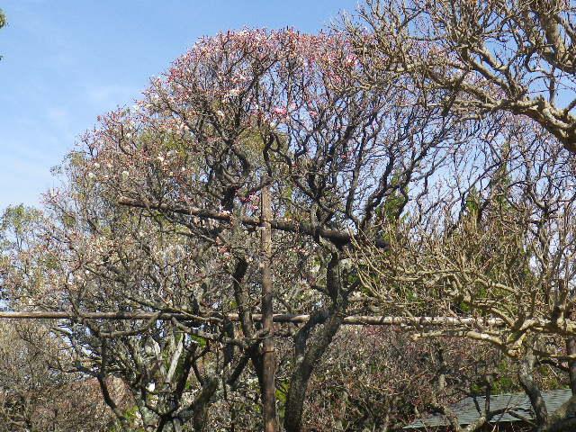 17) これでも、宝戒寺名物の ' 同じ木に桃色と白の花が咲く梅 ' が咲き始めたのを撮ったつもり。