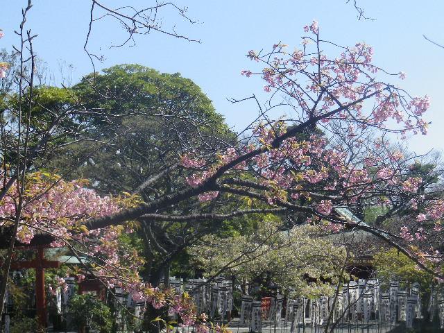 12) ' 旗上弁財天社 ' 方向を背景に、' 牡丹園 ' 入口手前の桜。