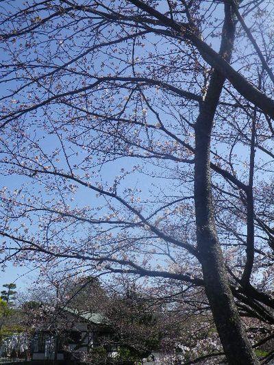 14)  ' 旗上弁財天社 ' 方向を背景に、' 牡丹園 ' 入口手前の桜。