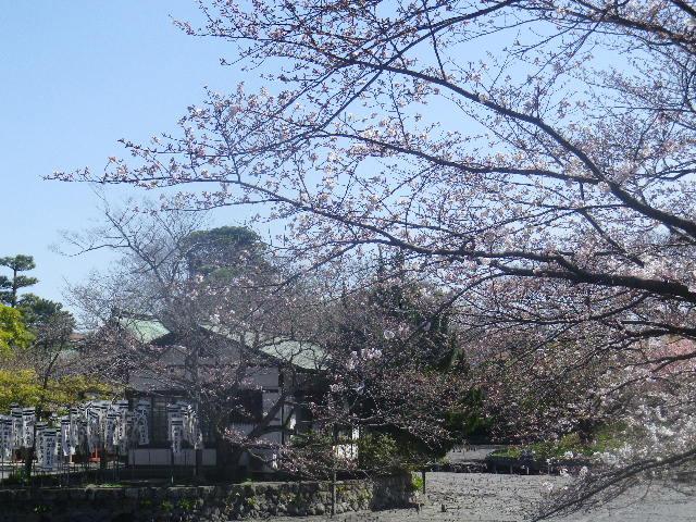 15)  ' 旗上弁財天社 ' 方向を背景に、' 牡丹園 ' 入口手前の桜。