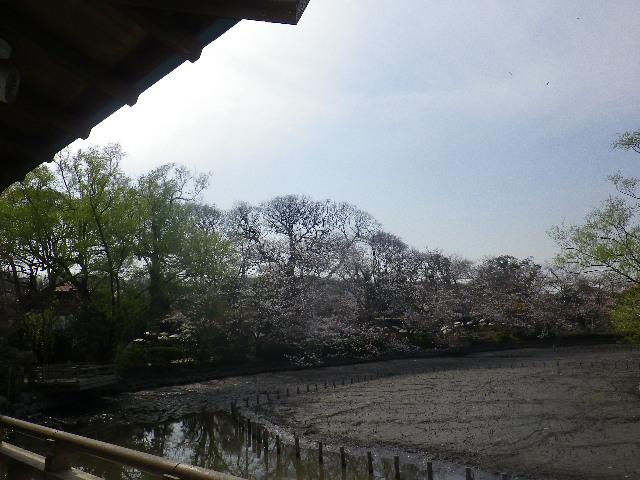 09) ' 源平池 ' 源氏池側休憩施設から ' 牡丹園 ' の桜を撮ったつもり。低い陽光を庇で遮ったが、この日全て誤ったカメラ設定で色彩がスッ飛んだ。池の水は抜かれて、掘り下げ工事