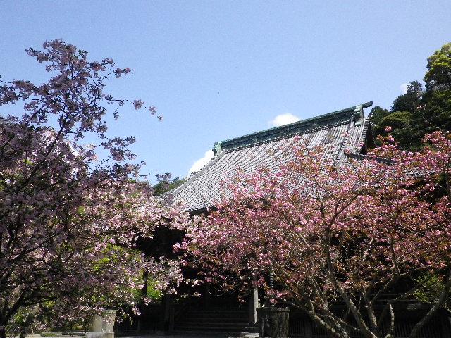 05) 写真04)の別方向から、左:カイドウ _ 右奥:八重桜