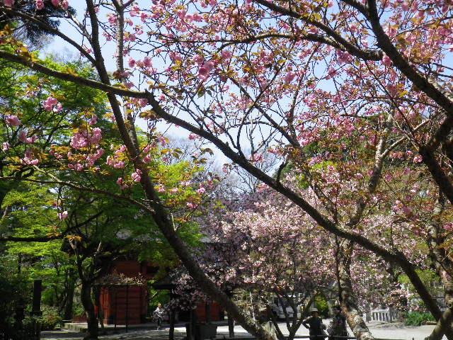 07) 写真04)の別方向から、奥:カイドウ _ 手前:八重桜
