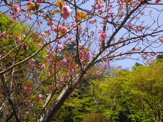 14) 04)とは別の場所で、八重桜。