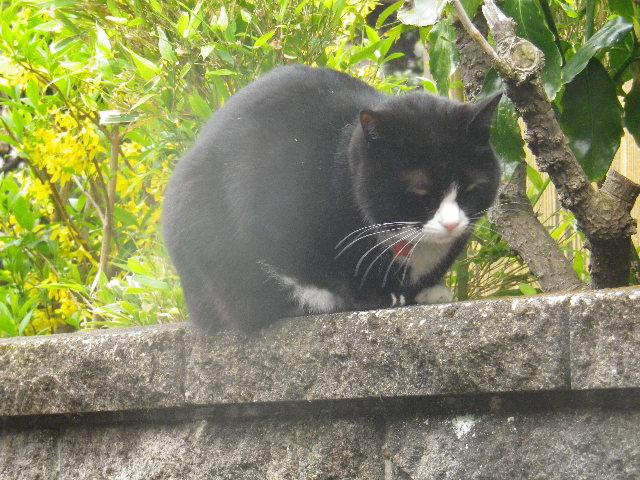 04) 近所の飼い猫、本名 ' あおやぎ パン ' くん。 本名判明以前につけた芸名 ' 相模三久オリジナル '。