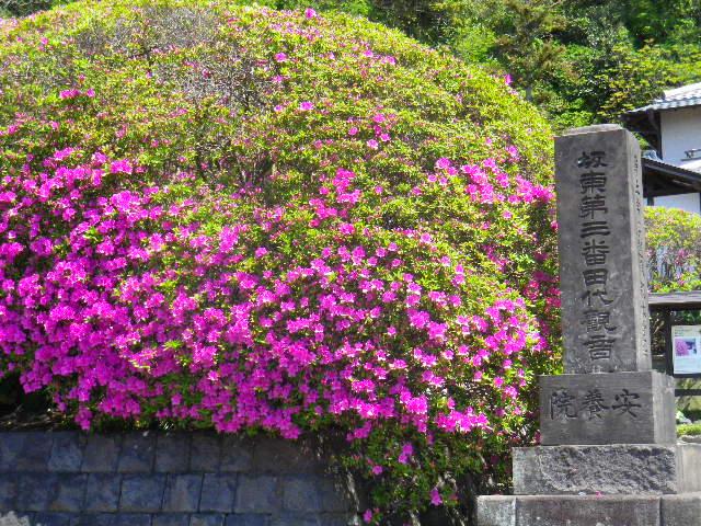 02) 鎌倉「安養院」、ツツジの開花状況。 _ 鎌倉市大町