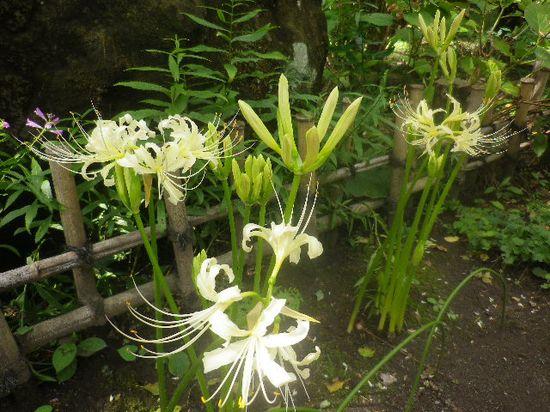 06) ここの境内で多く見られた、白い彼岸花。 _ 04) の近接写真