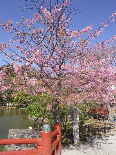 05) 「鶴岡八幡宮」境内 ' 源平池 ' 平家池側 の桜