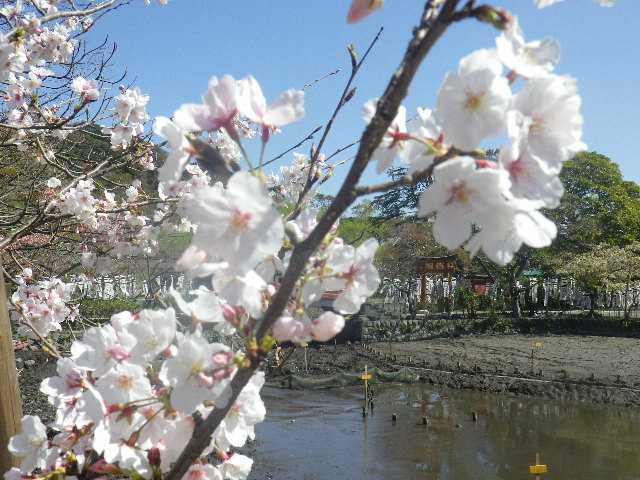 13)  ' 旗上弁財天社 ' 方向を背景に、' 牡丹園 ' 入口手前の桜。