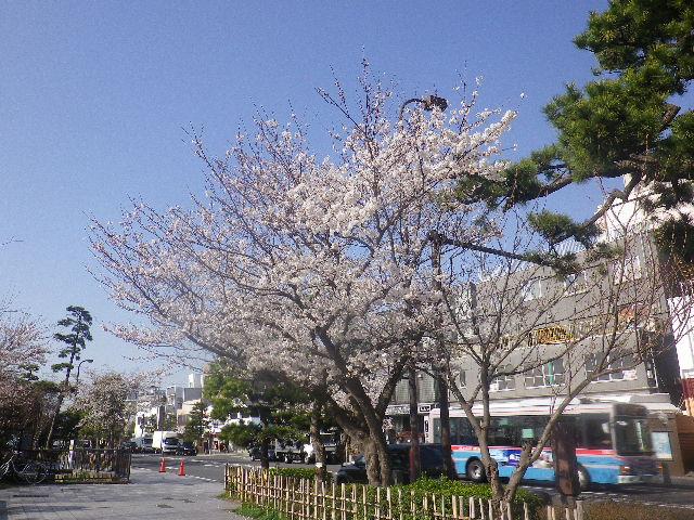 01) 鎌倉郵便局周辺 街路樹の桜 _ 8:17am頃~