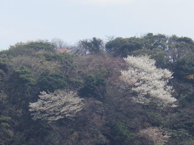 04) 写真03)左側の山桜