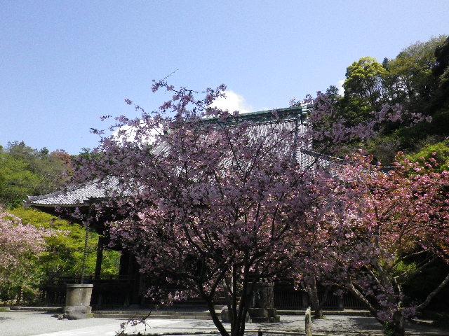 04) 中:カイドウ _ 右奥:八重桜