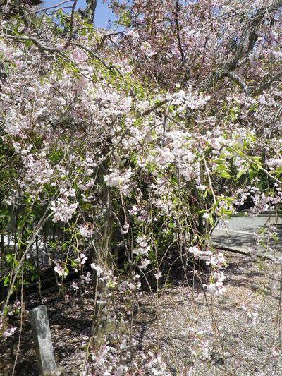 13) 枝垂れ桜