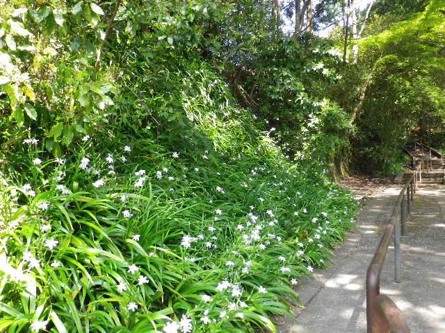 """16) 墓地への道で、シャガの花。 _ 写真枠から外れる右方向は、"""" 祇園山ハイキングコース """" の途中へ合流する上り道。"""