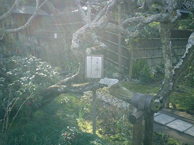 32)東慶寺、梅の古木