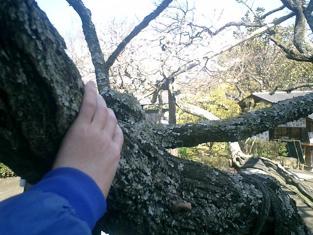 33)東慶寺、梅古木の生命力に肖りたくなって触れた