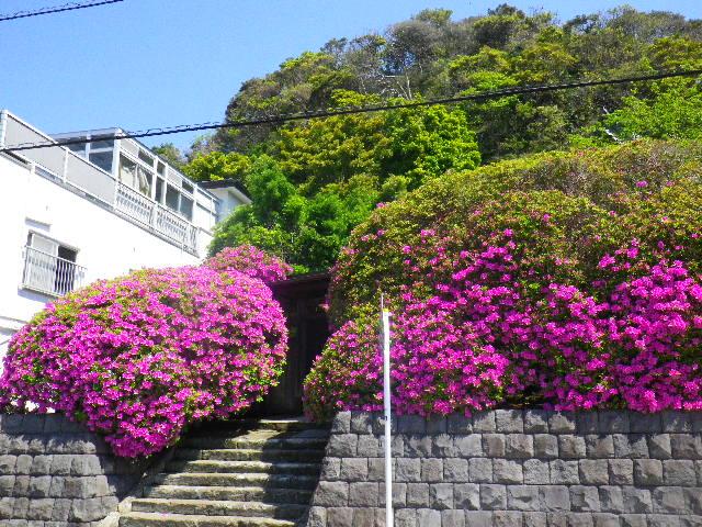 04) 鎌倉「安養院」、ツツジの開花状況。 _ 鎌倉市大町