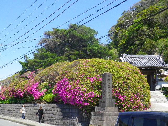 01) 鎌倉「安養院」、ツツジの開花状況。 _ 鎌倉市大町