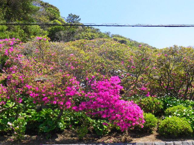 03) 鎌倉「安養院」、ツツジの開花状況。 _ 鎌倉市大町