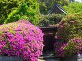 05) 鎌倉「安養院」、ツツジの開花状況。 _ 鎌倉市大町