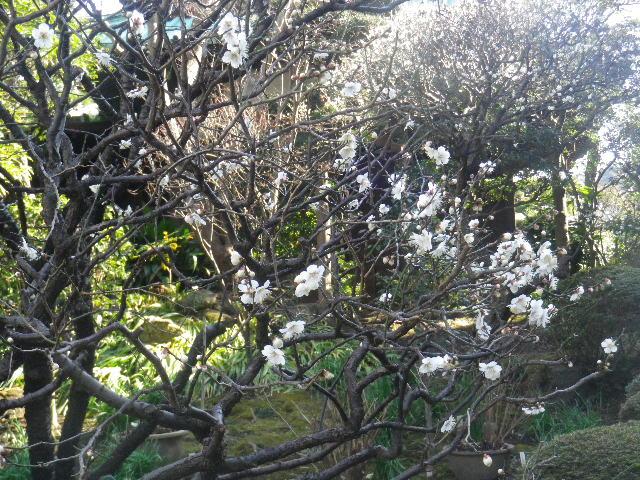 04-1) 梅が咲き始めたヨッ!