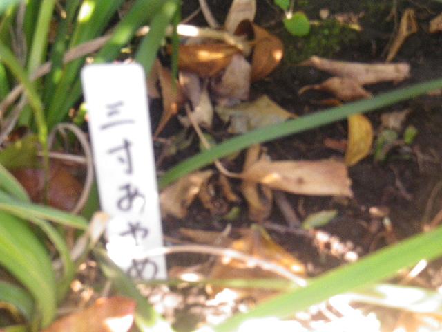 """07-1) """" 三寸あやめ """""""