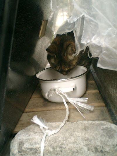 """05)鎌倉市材木座「光明寺」""""秘密のエサ場""""。この際、先に命名しておこう。仮称'トラシマ5号'を改め「森園勝敏」ダ!既に命名した猫と識別を誤っているかもしれないが、現状""""Dazed"""