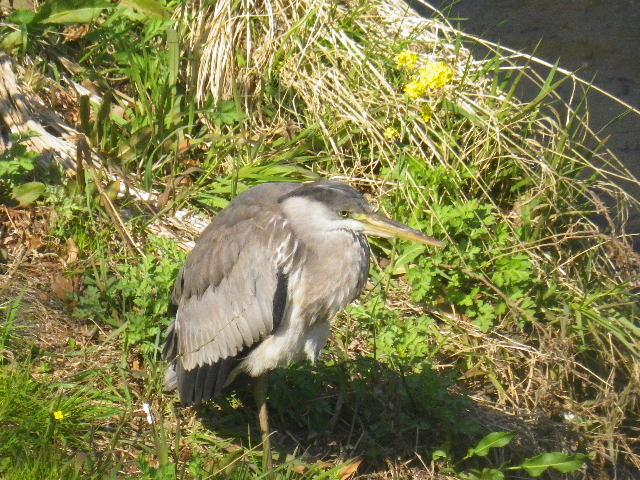 04-1) 最初から気づいていたが、私が去るまで全く動かなかったなど知らぬ鳥。シラサギなのか?